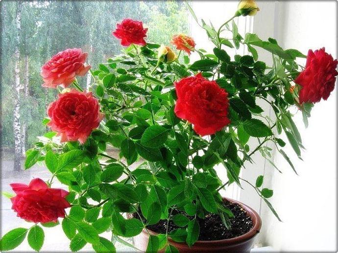 Роза из черенка в домашних условиях