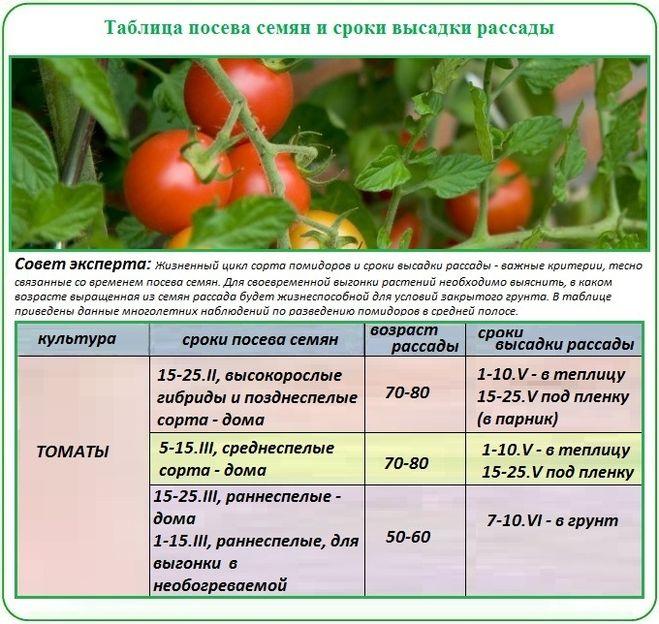 Когда сажать в теплицу рассаду помидоров
