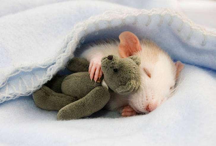 К чему снятся крысы женщине сонник миллера